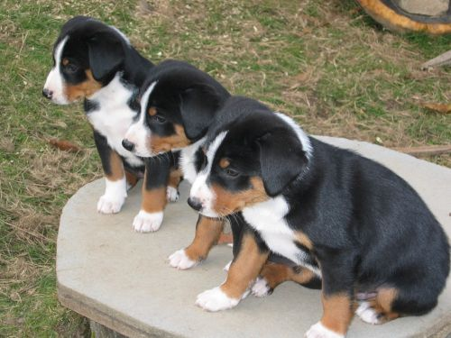 appenzell mountain dog puppies