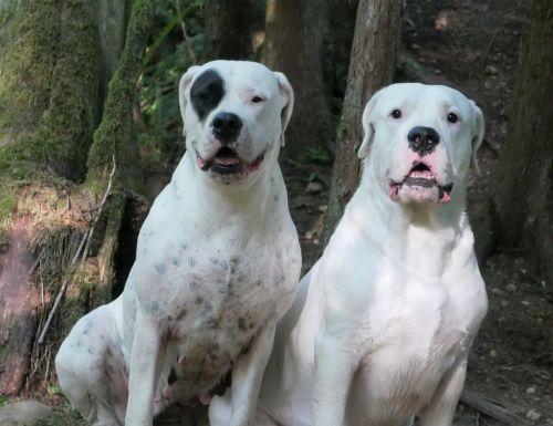 argentine dogo dogs