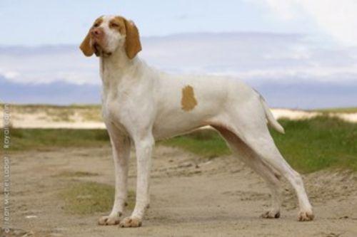 ariege pointer dog