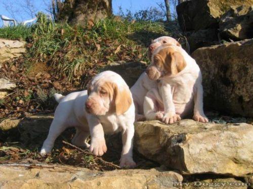 ariege pointer puppies