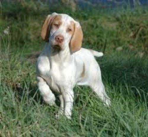 ariege pointer puppy