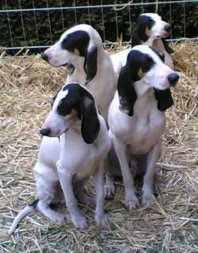 ariegeois dogs