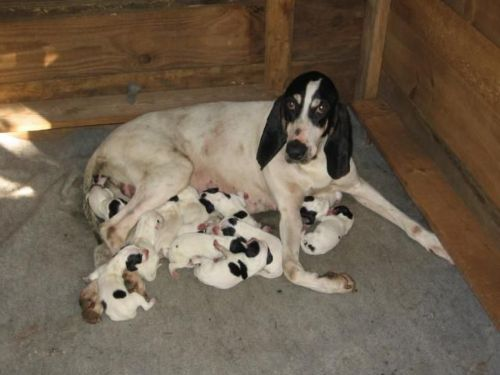 ariegeois puppies