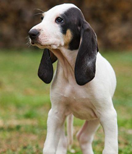 ariegeois puppy