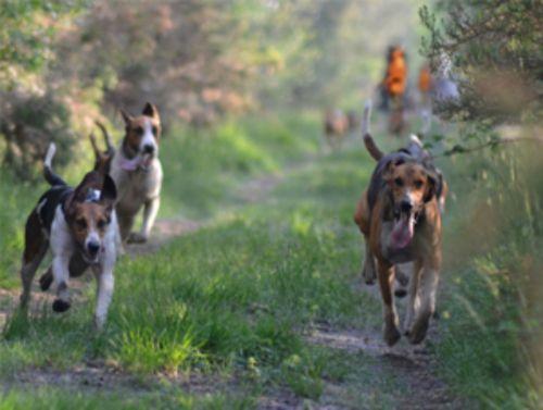artois hound dogs