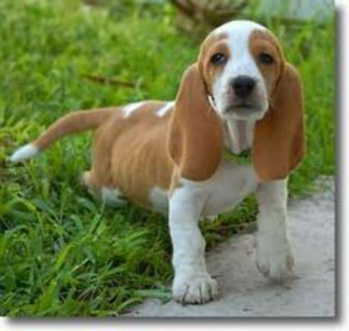 artois hound puppy