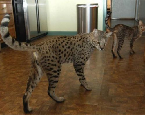 ashera cats