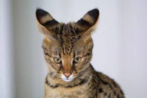 ashera kitten