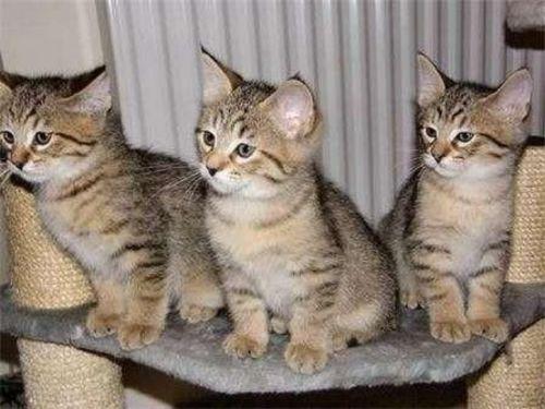 ashera kittens