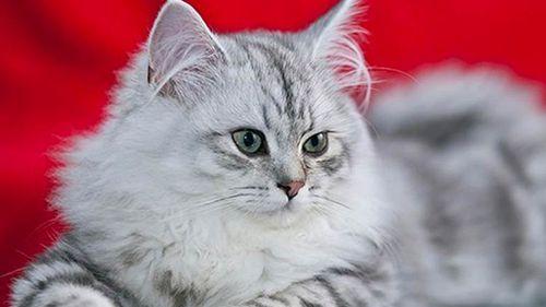 asian semi longhair cat