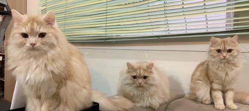asian semi longhair cats
