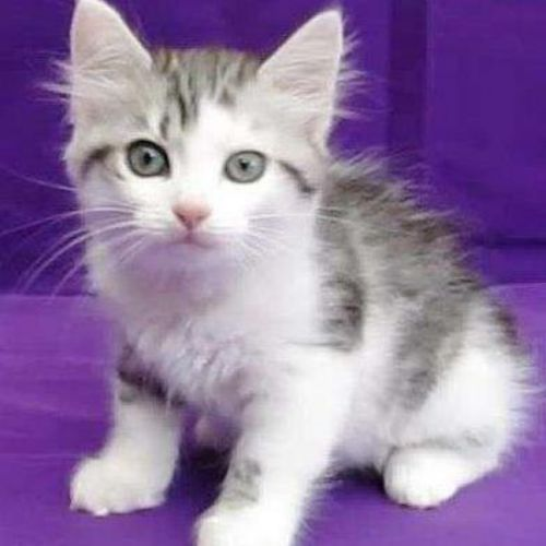 asian semi longhair kitten