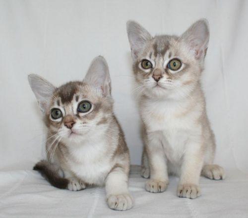 asian semi longhair kittens