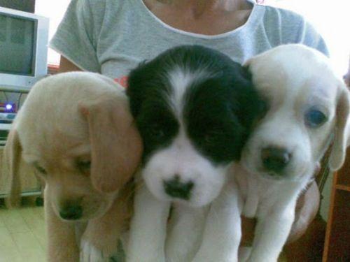 askal puppies