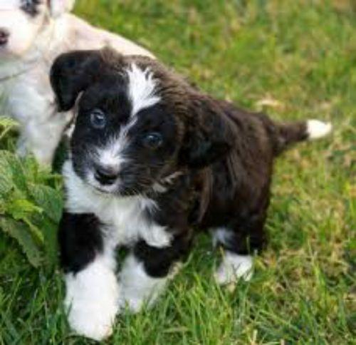 aussie doodles puppies