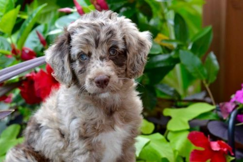 aussie doodles puppy