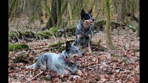 austrailian blue heeler dogs