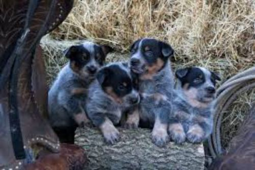 austrailian blue heeler puppies