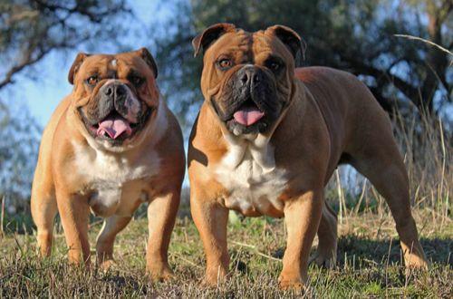 australian bulldog dogs
