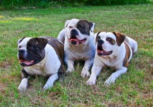 australian bulldog puppies