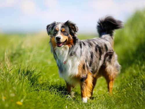 australian collie dog