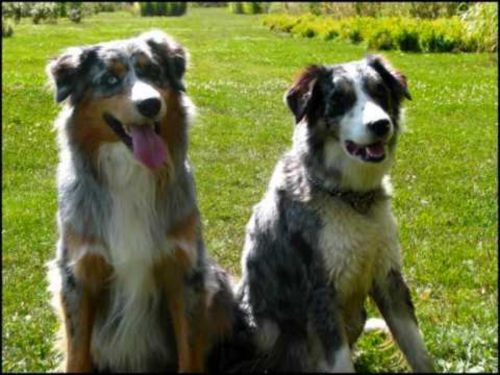 australian collie dogs