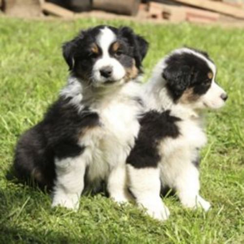 australian collie puppies