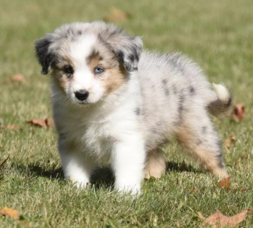 australian collie puppy