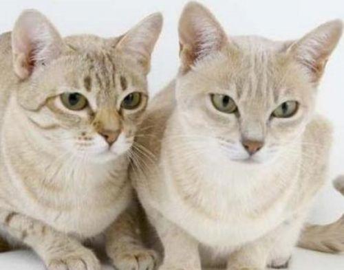 australian mist cats