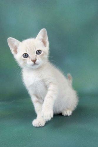 australian mist kitten
