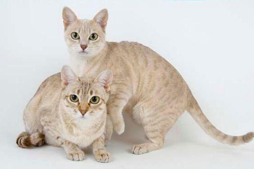 australian mist kittens