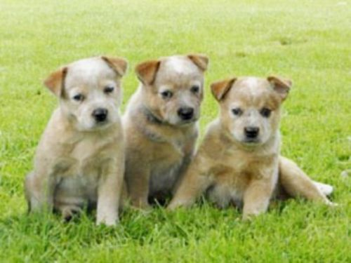 australian red heeler puppies