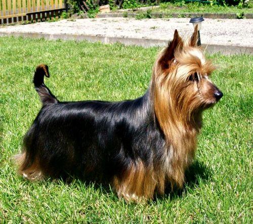 australian silky terrier