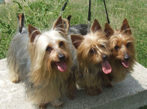 australian silky terrier dogs