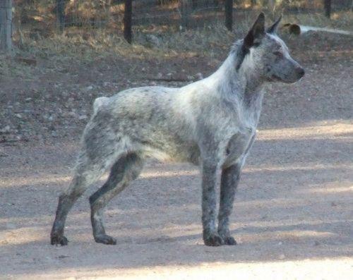 australian stumpy tail cattle dog dog
