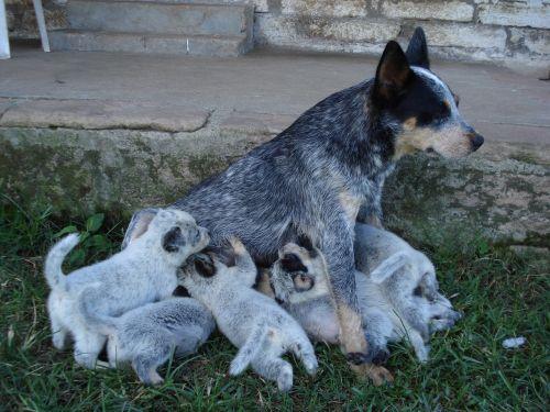 australian stumpy tail cattle dog puppies
