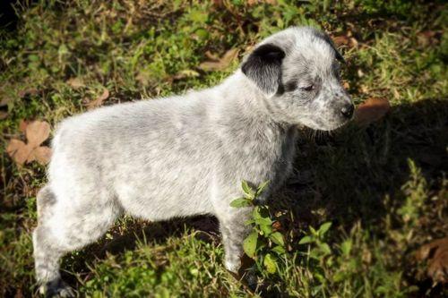 australian stumpy tail cattle dog puppy