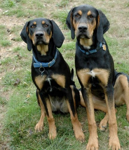 austrian black and tan hound dogs