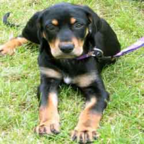 austrian black and tan hound puppy