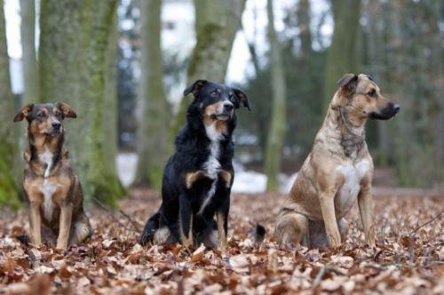 austrian pinscher dogs