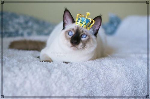 Balinese Cats for sale in Nashville, TN, USA. price -USD