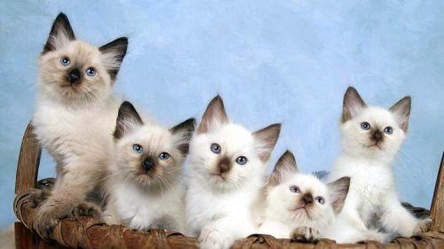 balinese kittens