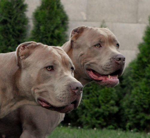 bandog dogs