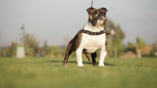 bantam bulldog