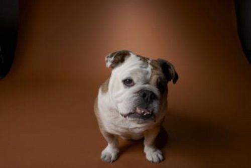 bantam bulldog dog