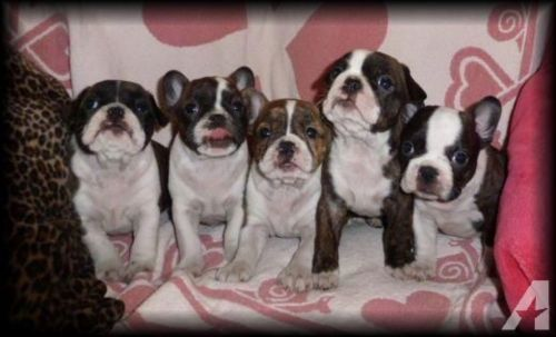bantam bulldog puppies
