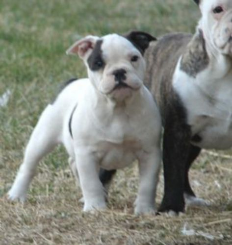 bantam bulldog puppy