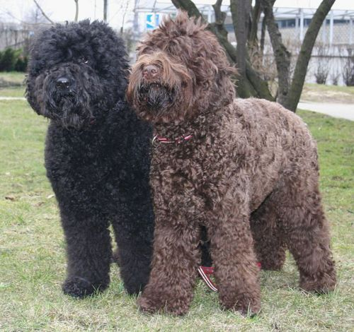 barbet dogs