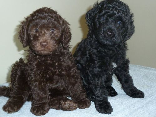 barbet puppies