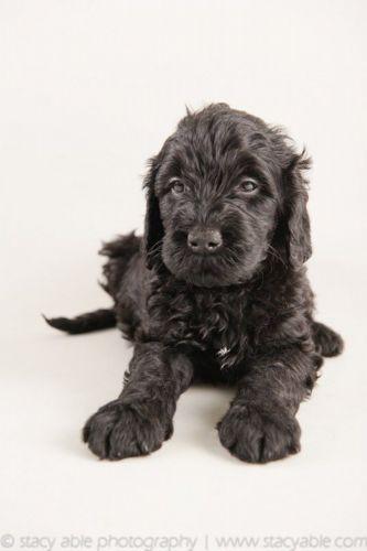 barbet puppy